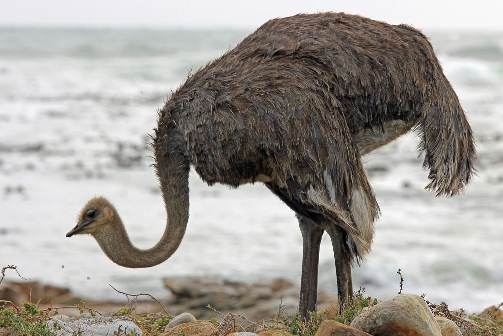Afrikanischer Strauß - Ostrich (Struthio camelus)1.JPG