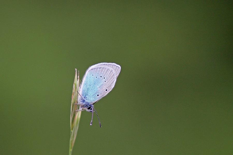 Alexis Bläuling - Green Underside Blue (Glaucopsyche alexis).jpg