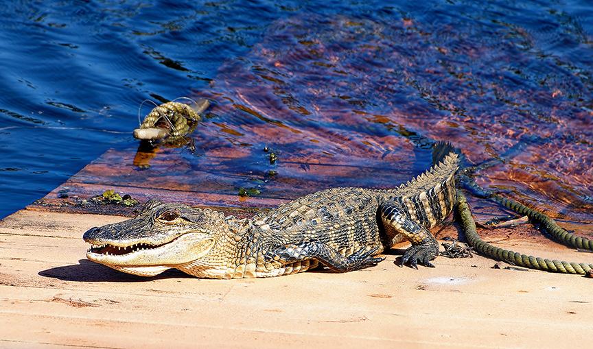 baby-gator.jpg