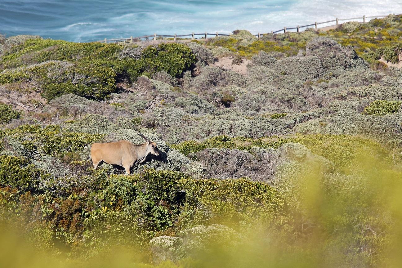 Elenantilope (Taurotragus oryx).jpg