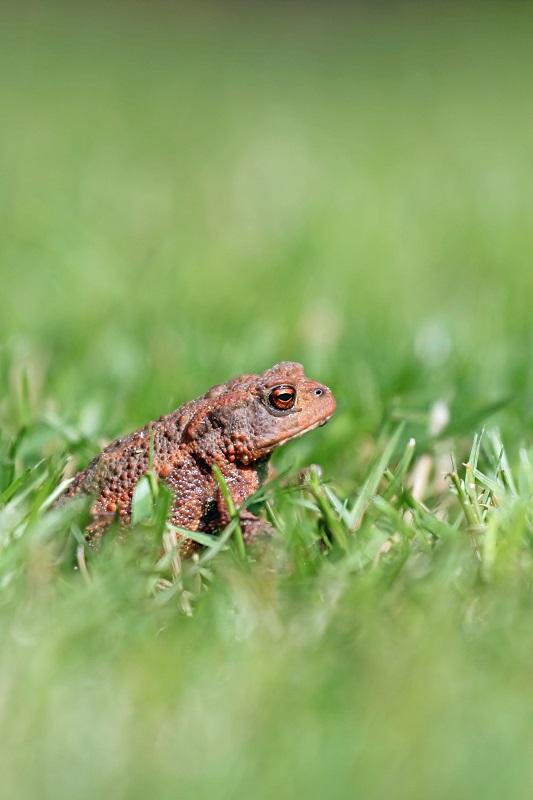 Erdkröte - European toad (Bufo bufo) (5).jpg