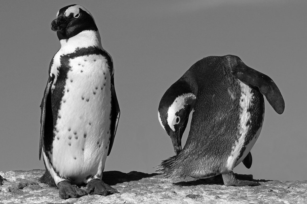 Eselspinguin - Jackass Penguin (Spheniscus demersus) BW1.jpg