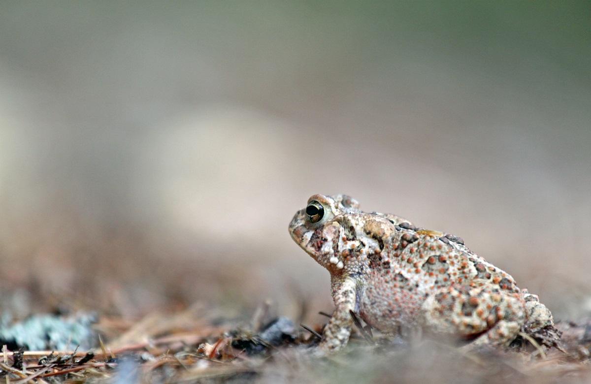 Fowlers Kröte - Fowler's Toad (Bufo fowleri).jpg