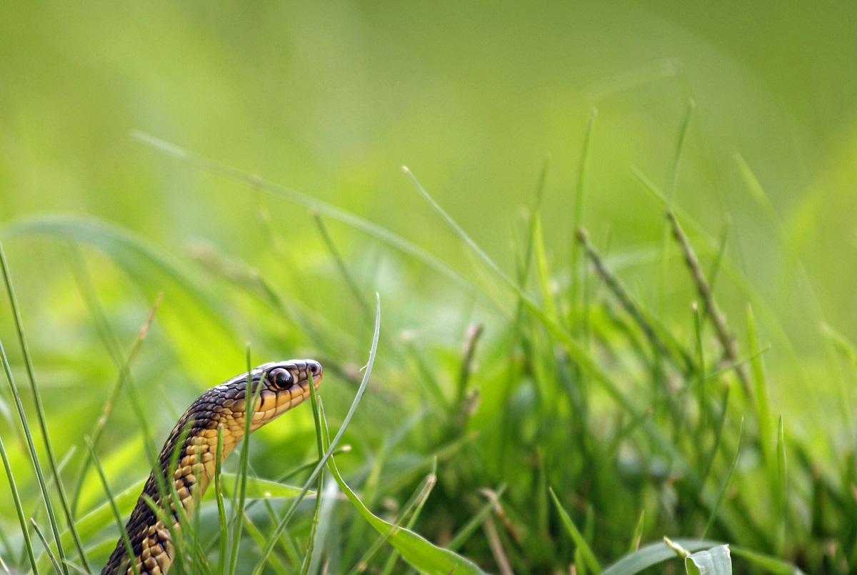 Gewöhnliche Strumpfbandnatter - Common Garter Snake (Thamnophis sirtalis).jpg