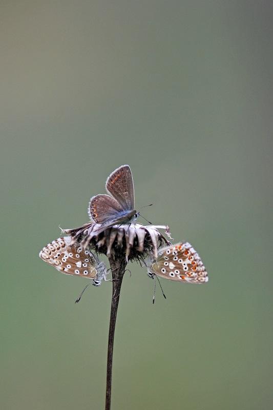Hauhechel-Bläuling - Common Blue (Polyommatus icarus)1.jpg