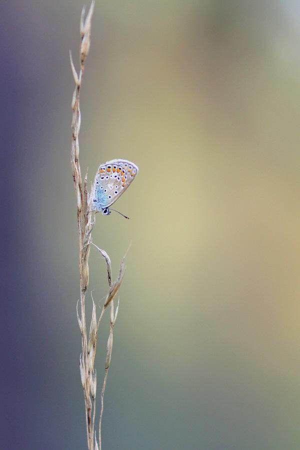 Hauhechel-Bläuling - Common Blue (Polyommatus icarus).jpg