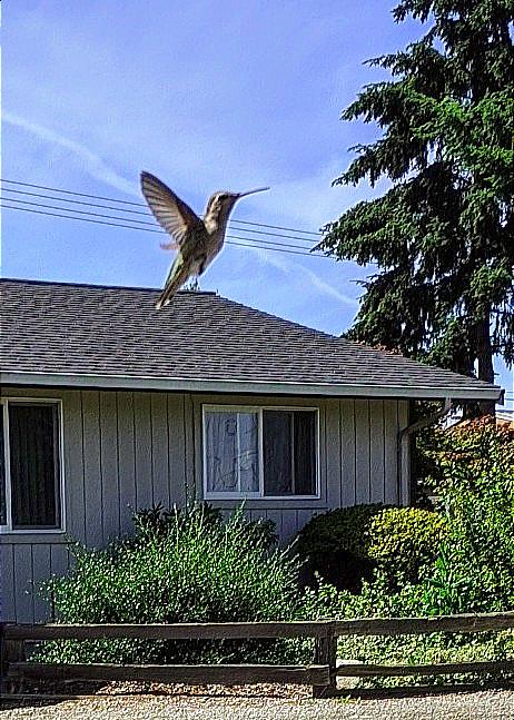 Hummingbird front yard.png