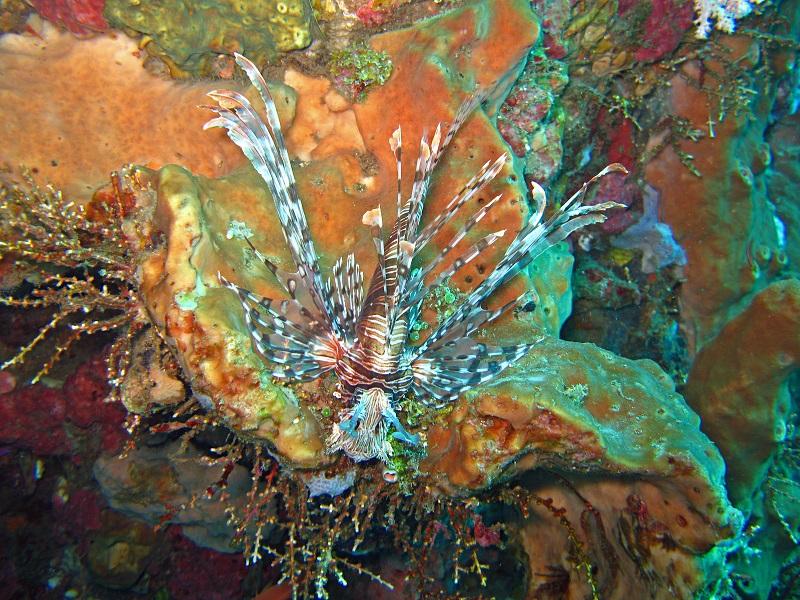 Indonesischer Feuerfisch - Indonesian Red Firefish (Pterois kodipungi)1.jpg