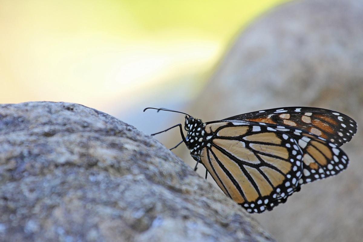 Monarchfalter - Monarch (Danaus plexippus)2.jpg