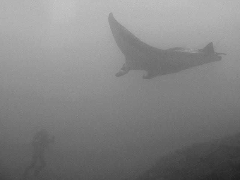 Riesenmanta - Manta Ray (Manta birostris)1 (2).jpg
