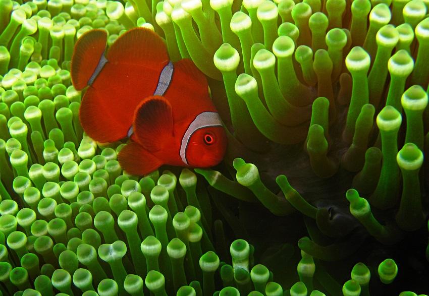 Samtanemonenfisch - Clownfish (Amphiprion biaculeatus).JPG