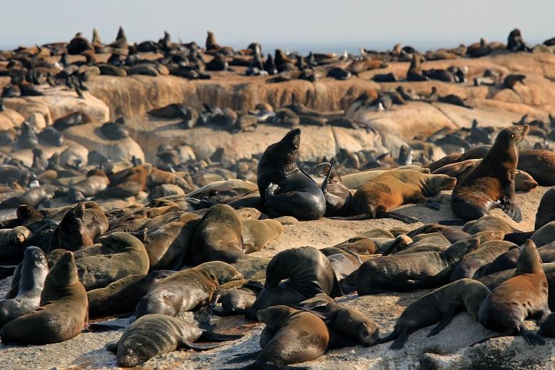 Seebär - Cape Fur Seal (Arctocephalus pusillus pusillus)3.jpg