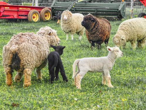 Sheep&LambsP1010046 SMALLEST.jpg
