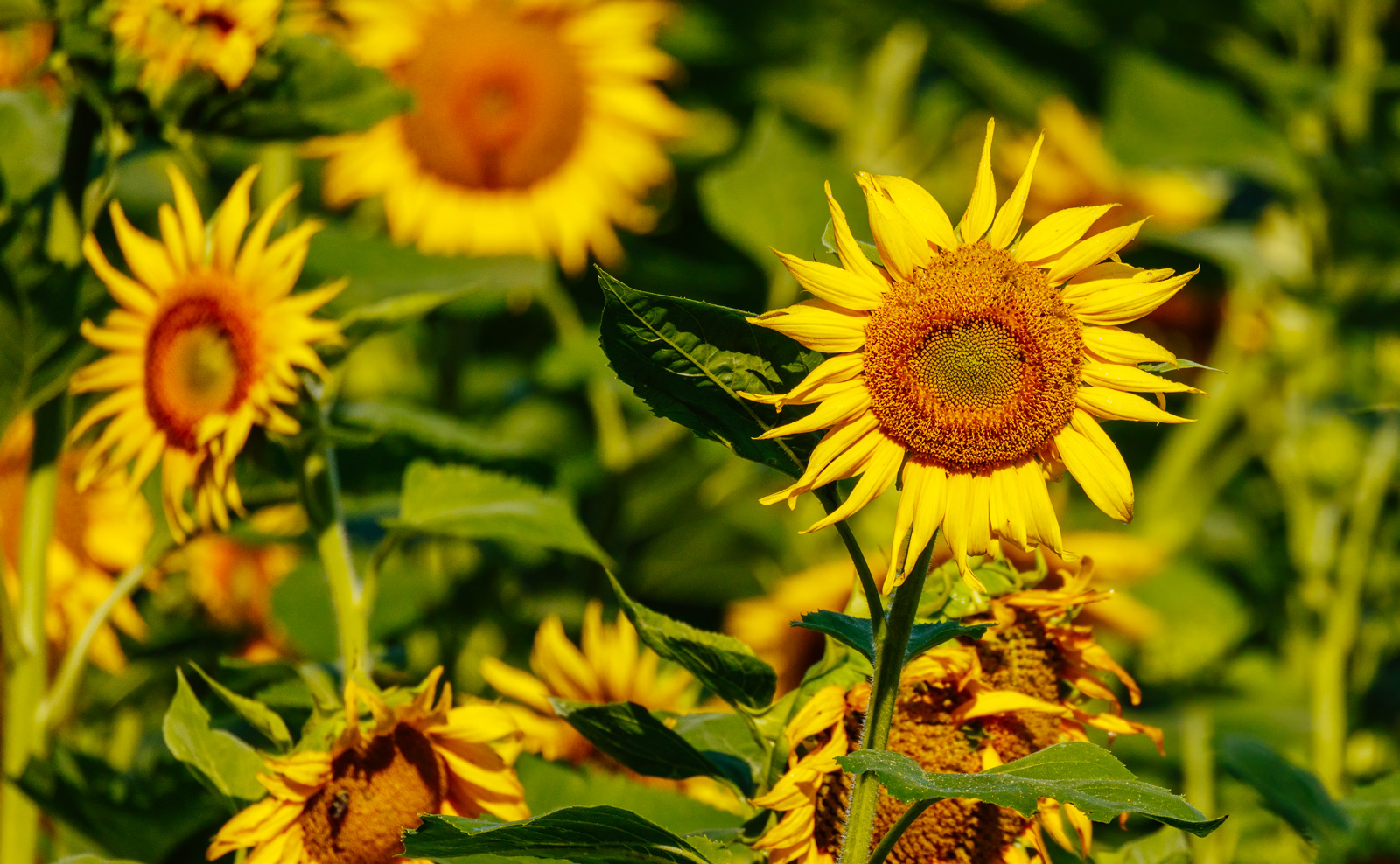 Sunflowers_.jpg