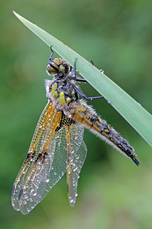 Vierfleck - Four-spotted chaser (Libellula quadrimaculata) (3).jpg