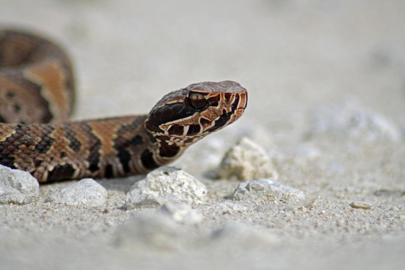 Wassermokassin - Cottonmouth (Agkistrodon piscivorus conanti).jpg