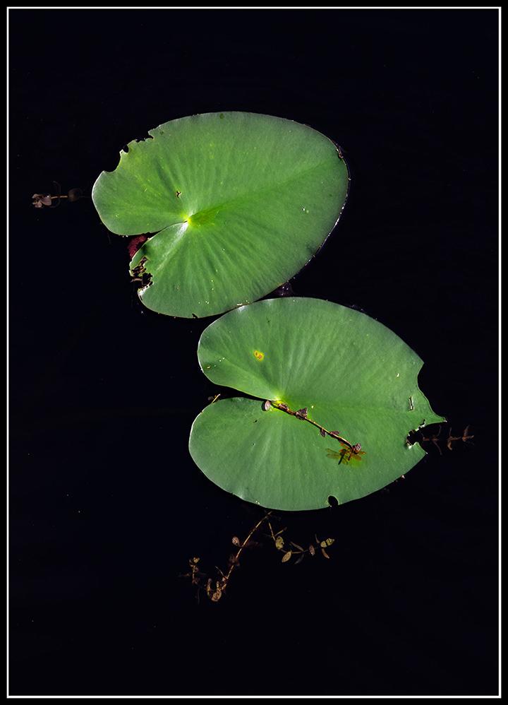 water-lily-edit b.jpg