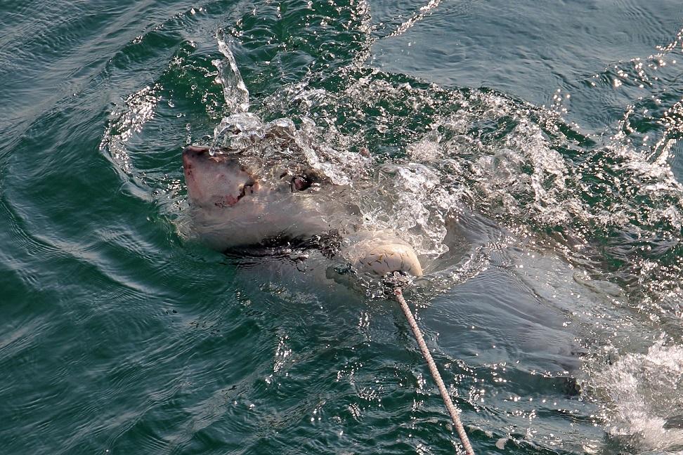 Weißer Hai - Great white shark (Carcharodon carcharias)5.jpg