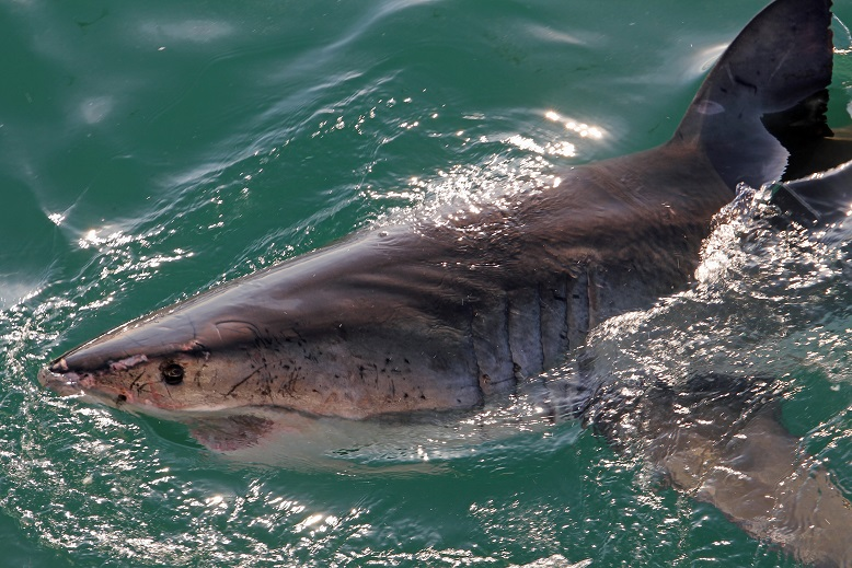Weißer Hai - Great white shark (Carcharodon carcharias)8.jpg