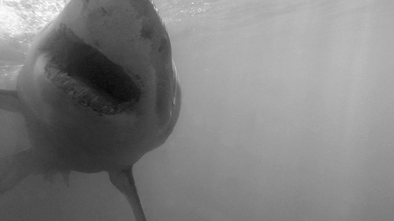 Weißer Hai - Great white shark (Carcharodon carcharias)b&w1.jpg