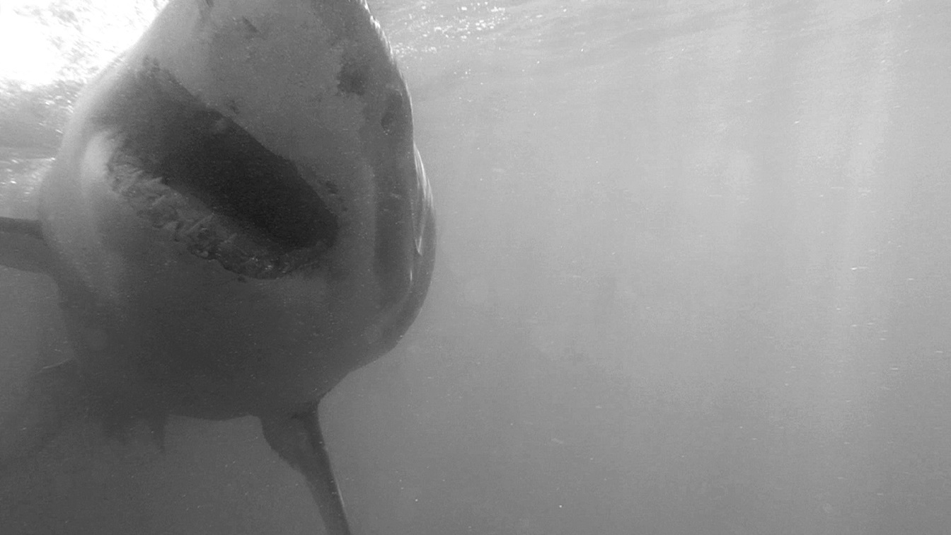 Weißer Hai - Great white shark (Carcharodon carcharias)bw.jpg
