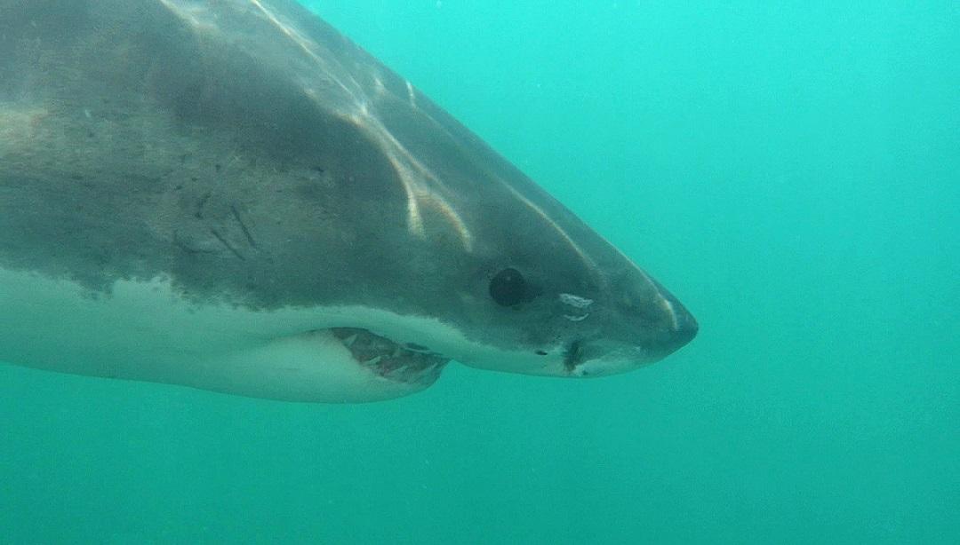 Weißer Hai - Great white shark (Carcharodon carcharias).jpg